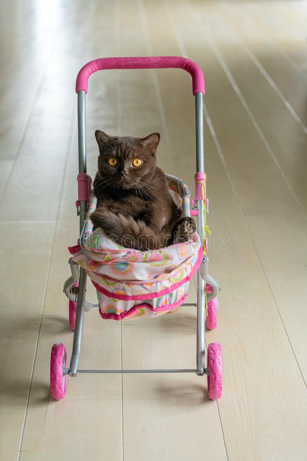 British Shorthair cat laying in colourful baby stroller indoors. Playful domestic cat sitting in a trolley inside.  royalty free stock photography