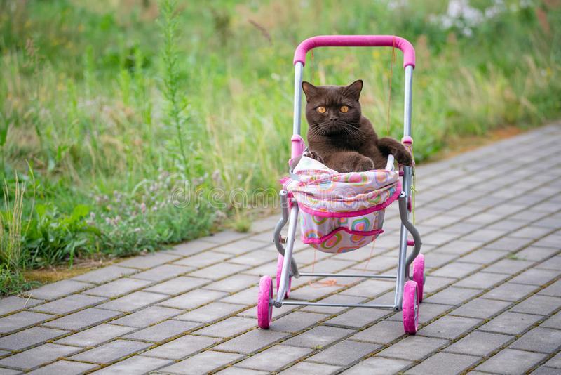 British Shorthair cat laying in colourful baby stroller outdoors. Playful domestic cat sitting in a trolley outside.  royalty free stock photos