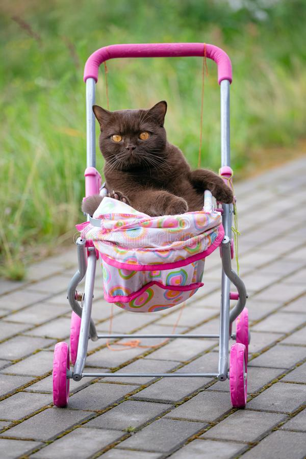 British Shorthair cat laying in colourful baby stroller outdoors. Playful domestic cat sitting in a trolley outside.  royalty free stock images