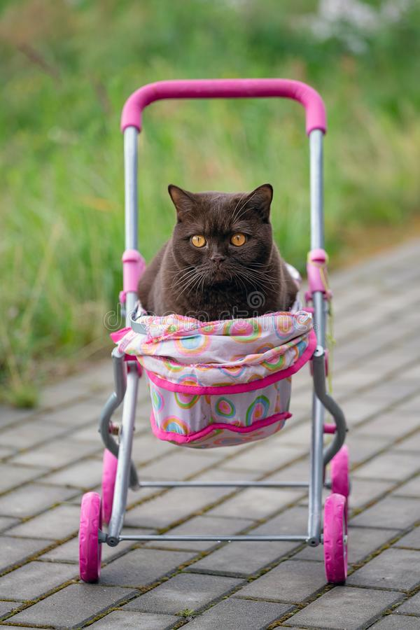 British Shorthair cat laying in colourful baby stroller outdoors. Playful domestic cat sitting in a trolley outside.  stock photography