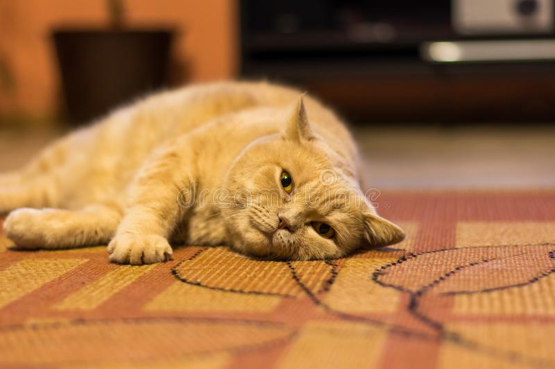 British shorthair cat is lazy lying on the carpet. Domestic adorable cat relaxation. British shorthair cat is lazy lying on the carpet. Domestic adorable cat royalty free stock photo