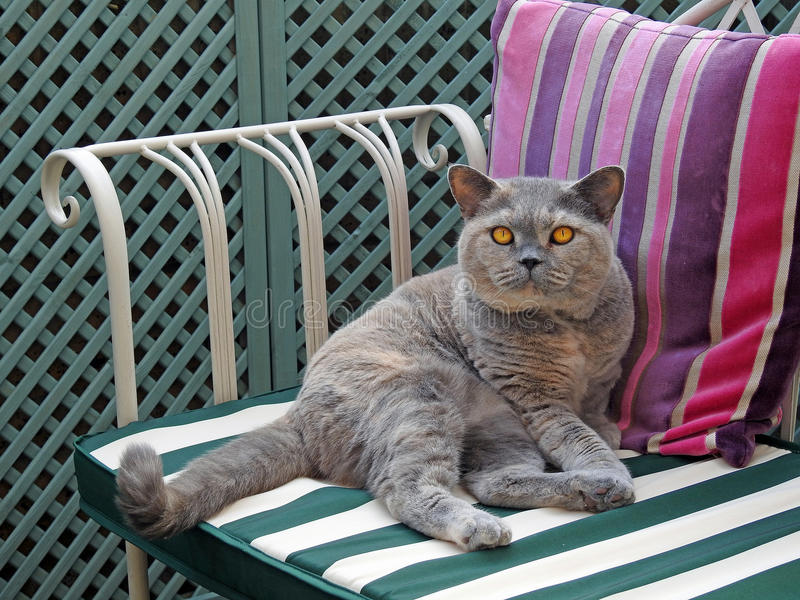 British shorthair cat. Photo of a beautiful british shorthair cat enjoying relaxing on her garden chaise bench taken 12th june 2017 royalty free stock images