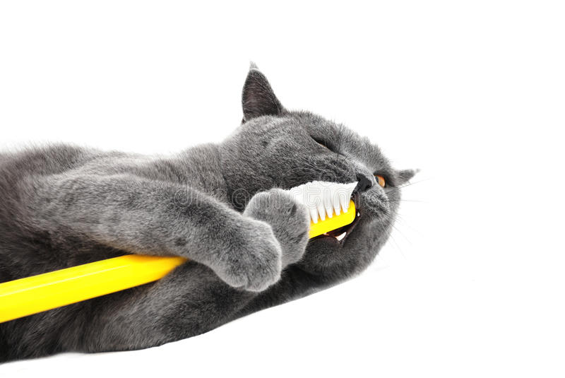 British shorthair cat playing with toothbrush royalty free stock photo