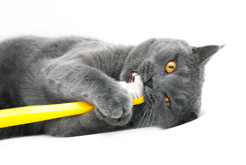 Download British Shorthair Cat Playing With Toothbrush Stock Image - Image of brush, detail: 28538543