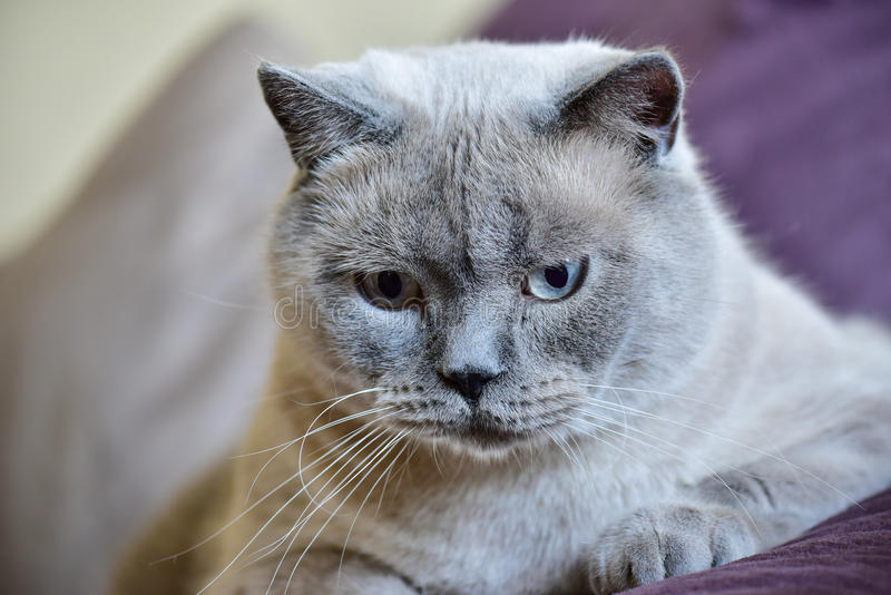 Colorpoint British shorthair cat portrait stock photos