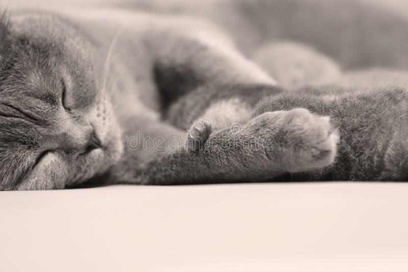 British Shorthair cat portrait isolated. British Shorthair cat portrait, cute face and paw close-up stock photography