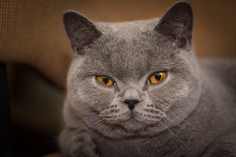 British shorthair cat smiling. Classic british shorthair cat indoors, smiling portrait stock photos
