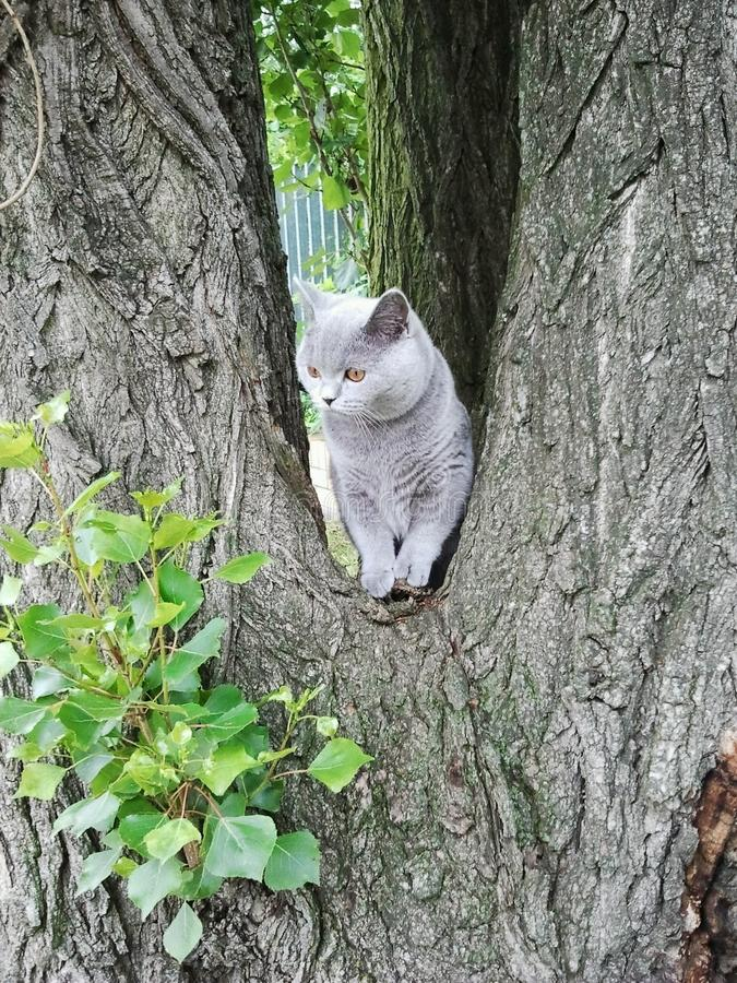 British shorthair cat on tree embranchment stock image