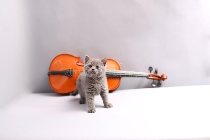 British Shorthair cat and a violin. British Shorthair kitten looking at a violin stock images