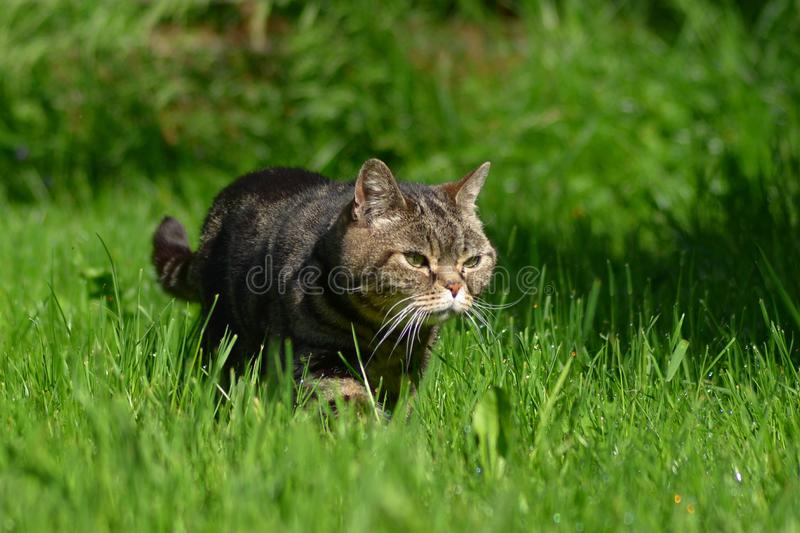 British Shorthair Cat. Walking in the meadow stock photo