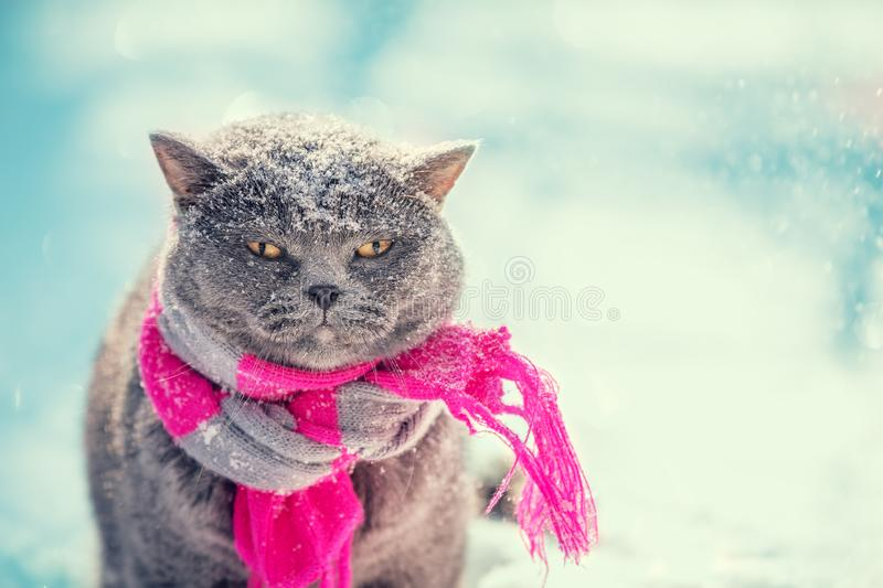 British Shorthair cat wearing the knitted scarf royalty free stock photography