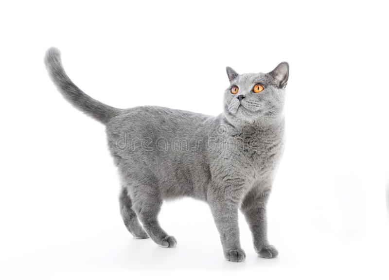 British Shorthair cat on white. Standing. Alert. Full body stock photos
