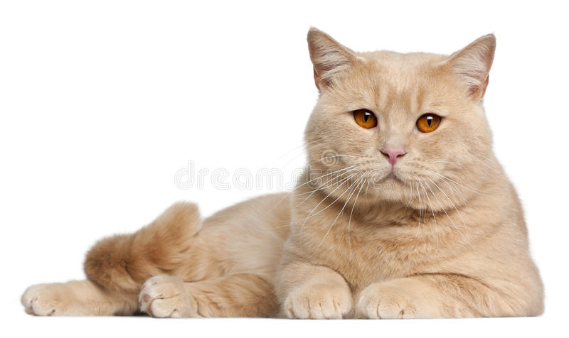 British Shorthair cats, 1 year old, lying royalty free stock images