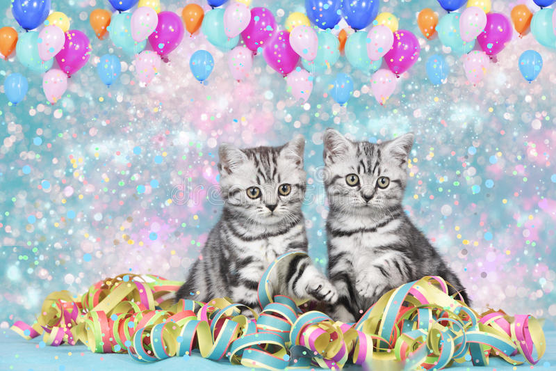 British shorthair cats with streamers. And balloons stock images