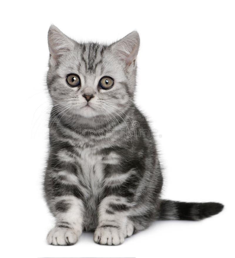 English Blue Cat Kittens