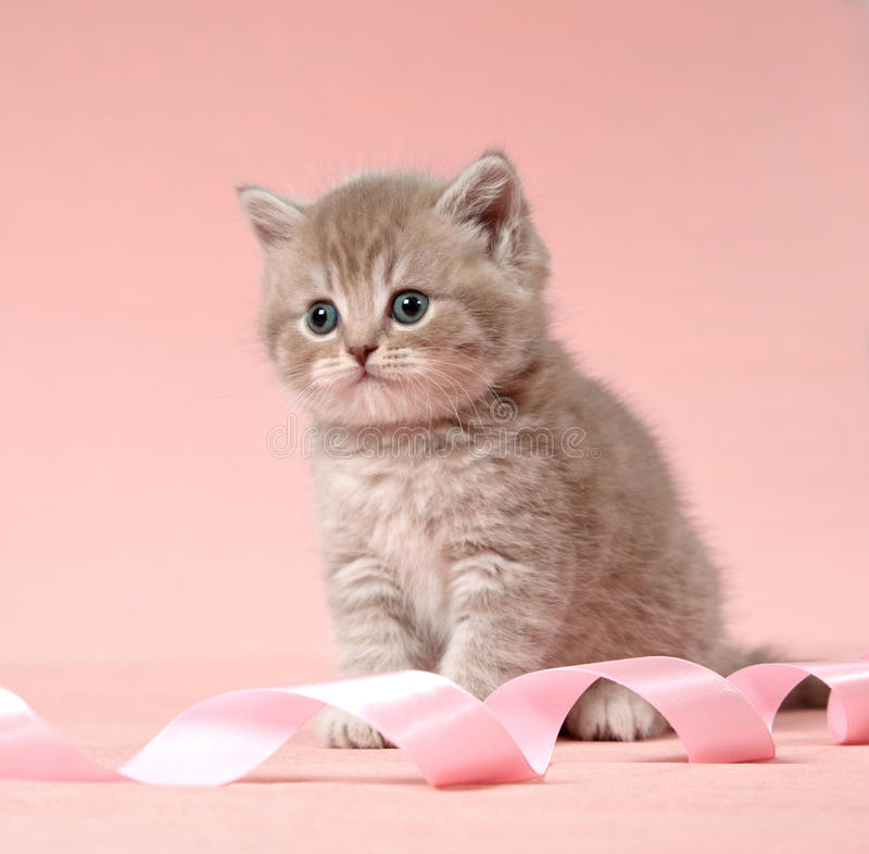 Download British shorthair kitten stock photo. Image of adorable - 22720364