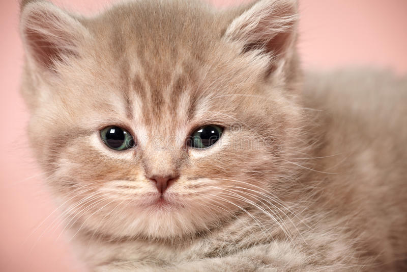 Download British shorthair kitten stock image. Image of feline - 22720367