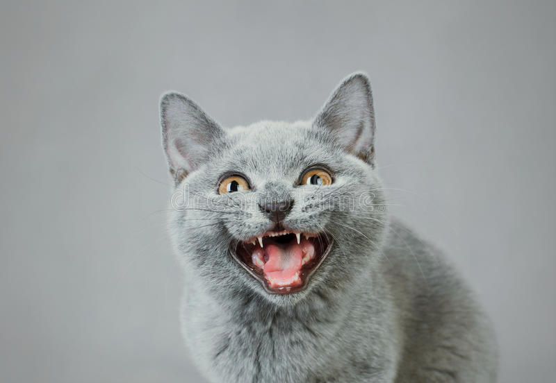 Download British shorthair kitten stock photo. Image of behavior - 22996764