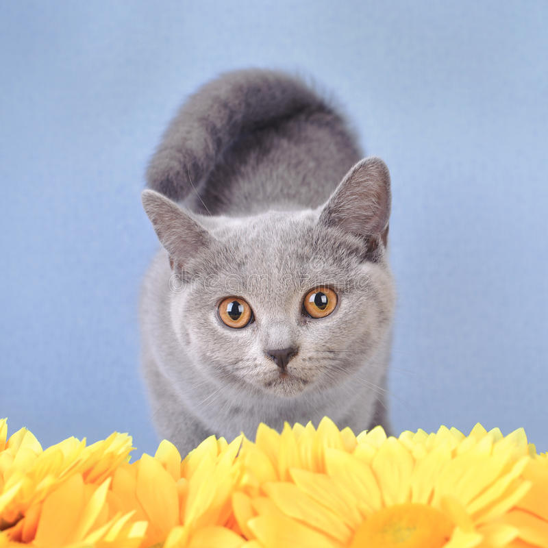 Download British Shorthair Kitten Royalty Free Stock Photos - Image: 22996828