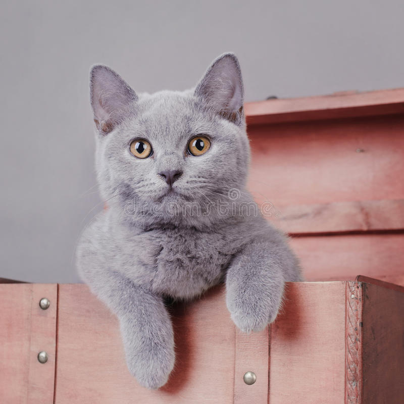 Download British shorthair kitten stock photo. Image of claws - 23249424