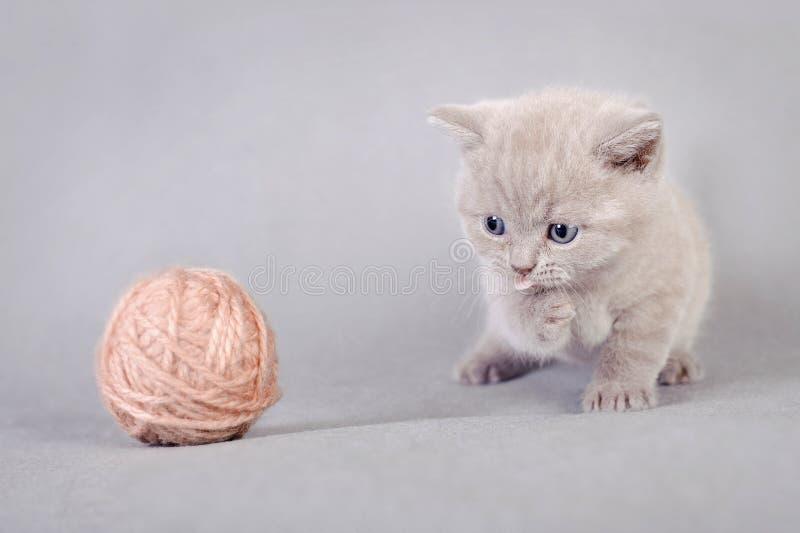 Download British shorthair kitten stock photo. Image of breed - 24062294