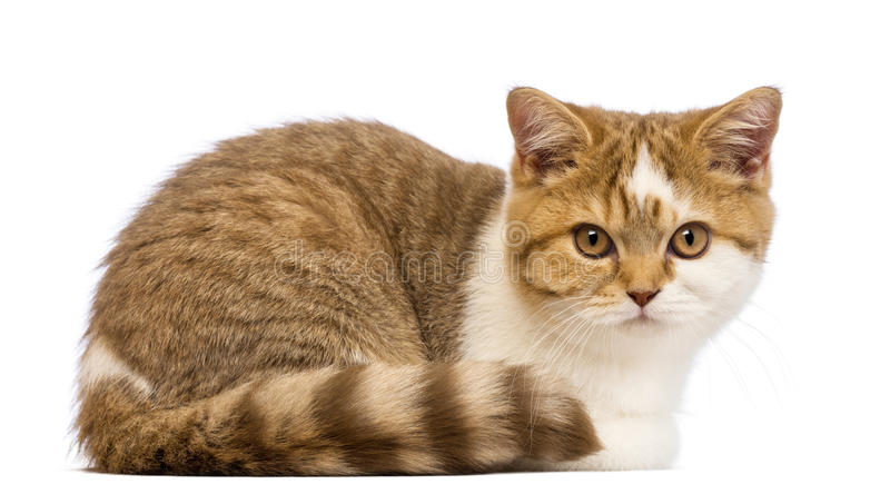 British Shorthair kitten, 3.5 months old, lying and looking at the camera. In front of white background stock photos