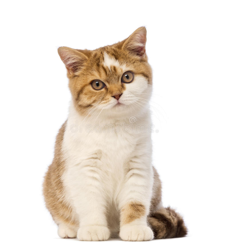 Free British Shorthair Kitten, 3.5 Months Old, Sitting And Looking At The Camera Royalty Free Stock Photography - 29492877