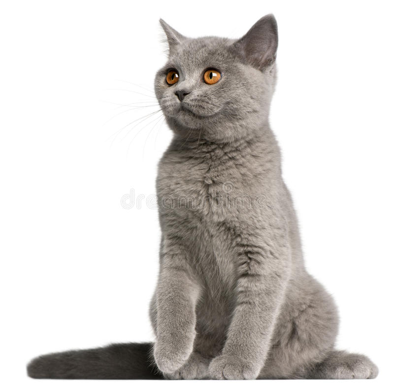 Download British Shorthair Kitten, 3 Months Old, Sitting Stock Photo - Image: 21404844