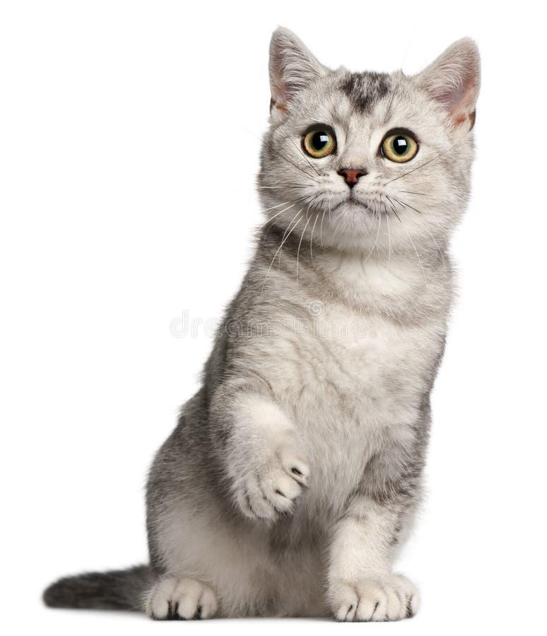 British Shorthair kitten, 4 months old, sitting royalty free stock photo