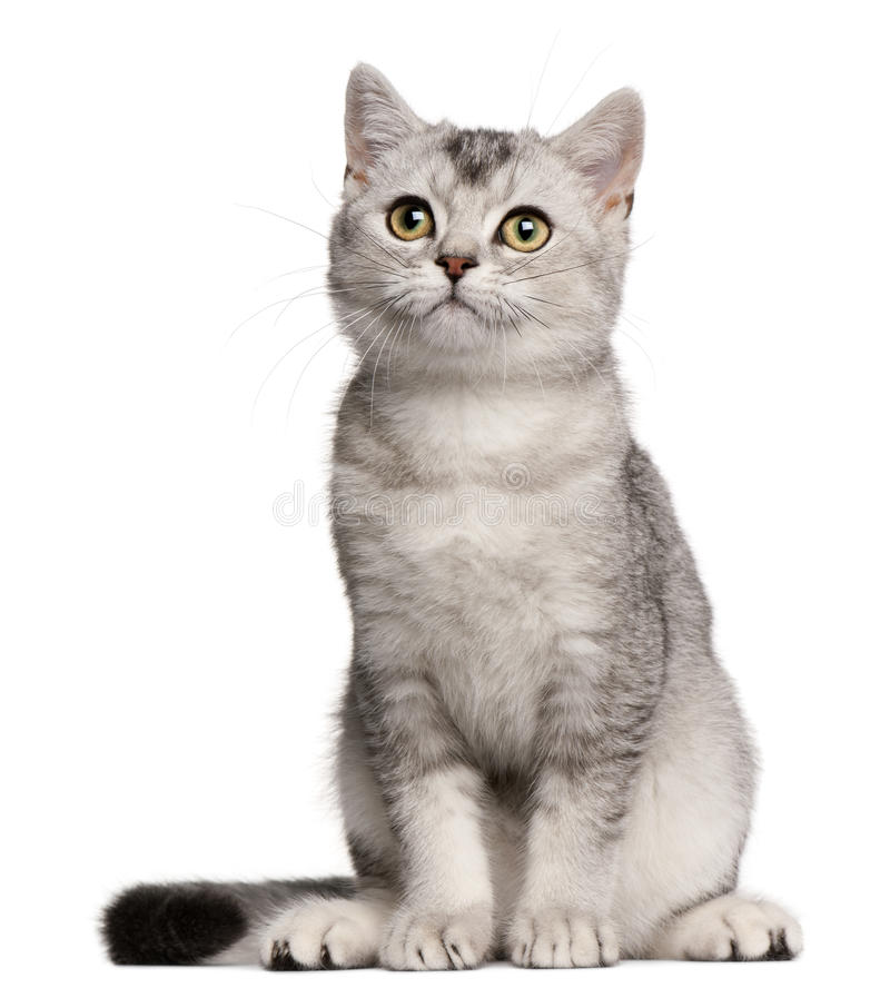 British Shorthair kitten, 4 months old, sitting royalty free stock photos