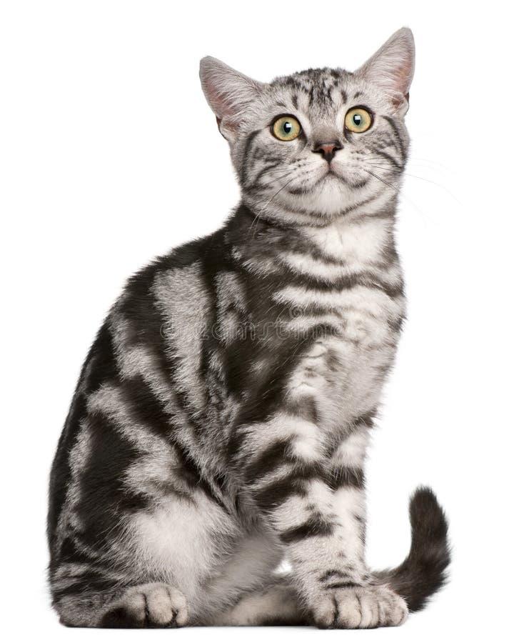 British Shorthair Kitten, 4 Months Old, Sitting Royalty Free Stock Image
