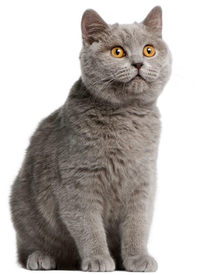 Download British Shorthair Kitten, 5 Months Old Stock Photo - Image: 18444416