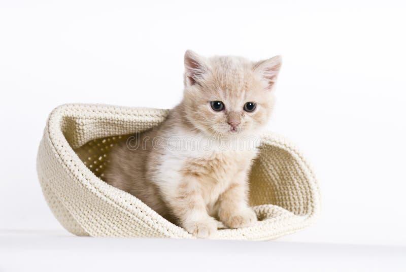 British shorthair kitten, 6 weeks