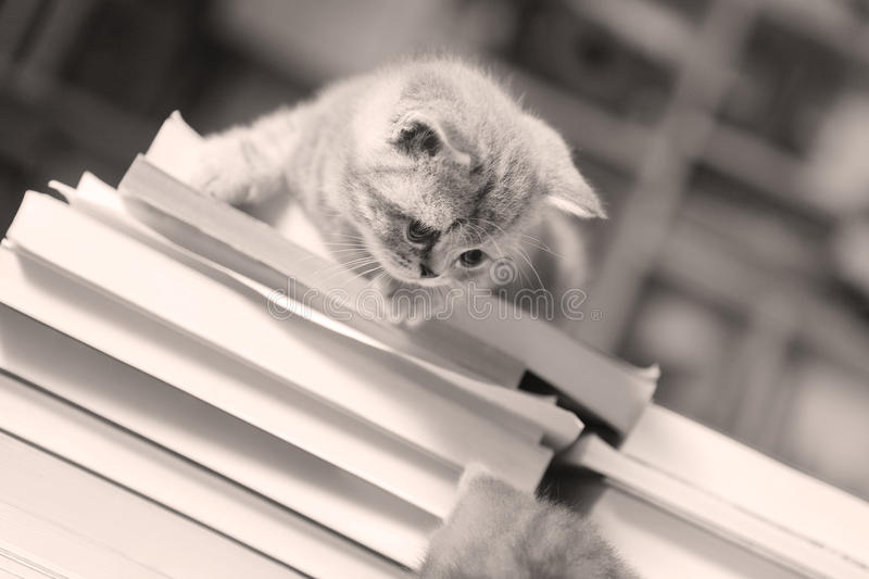 British Shorthair kitten and books royalty free stock image