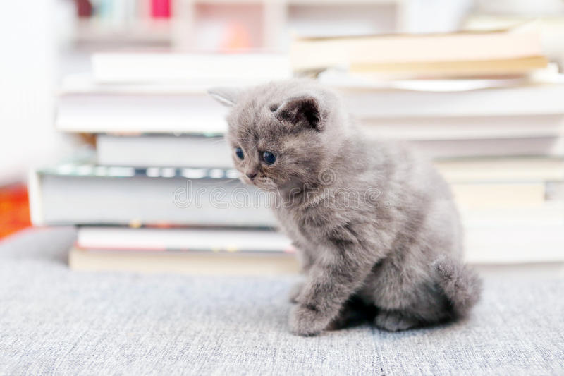 British Shorthair kitten and books. British Shorthair kitten sitting on the carpet in the middle of the room, books on the background stock photos