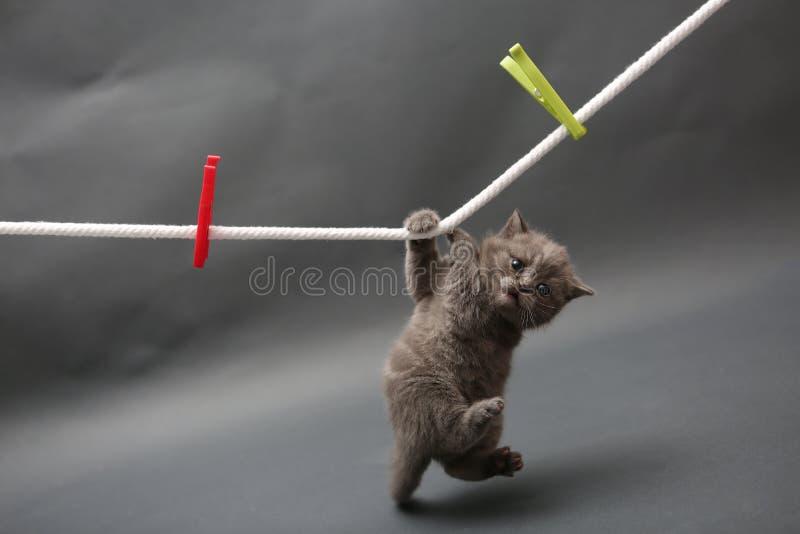 British Shorthair kitten on a cloth line. British Shorthair kitten holding himself of a clothes line royalty free stock photo