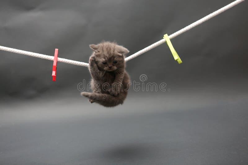 British Shorthair kitten on a cloth line. British Shorthair kitten staying on a clothes line, clothes pins stock photos