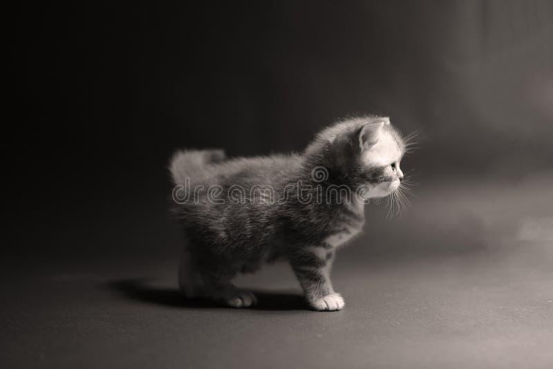 British Shorthair kitten. Cute British Shorthair kitten sitting in a studio, photo shooting royalty free stock photography