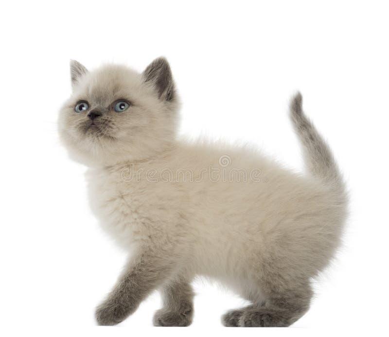 Download British Shorthair Kitten Looking Up Stock Image - Image of studio, standing: 27271093