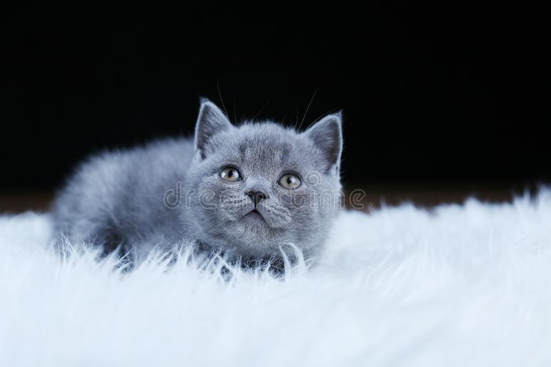 British Shorthair kitten lying on a faux Sheepskin. Small kitten walking on a white faux sheepskin, black background stock photos