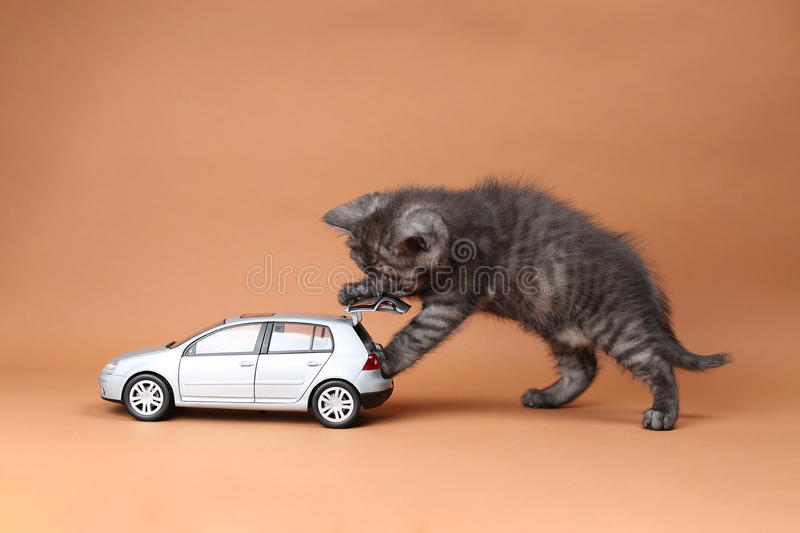 British Shorthair. Kitten playing with a car toy royalty free stock photography