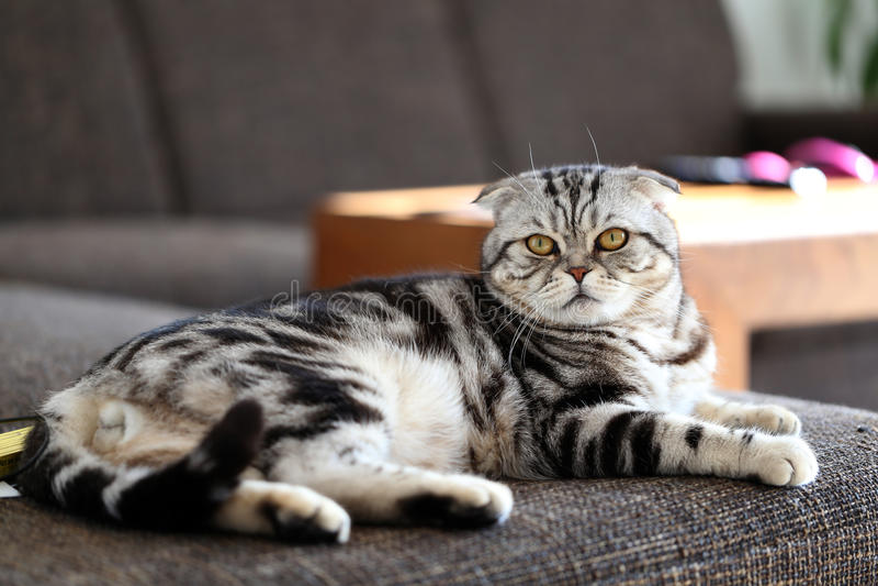 British Shorthair kitten. Portrait of a beautiful purebred housecat / British Shorthair kitten royalty free stock photography
