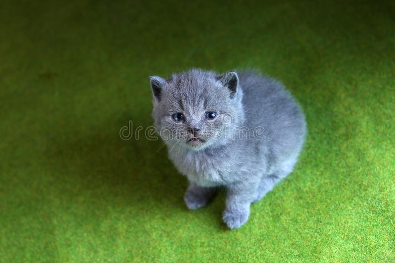 British Shorthair kitten cute face looking up, portrait royalty free stock images