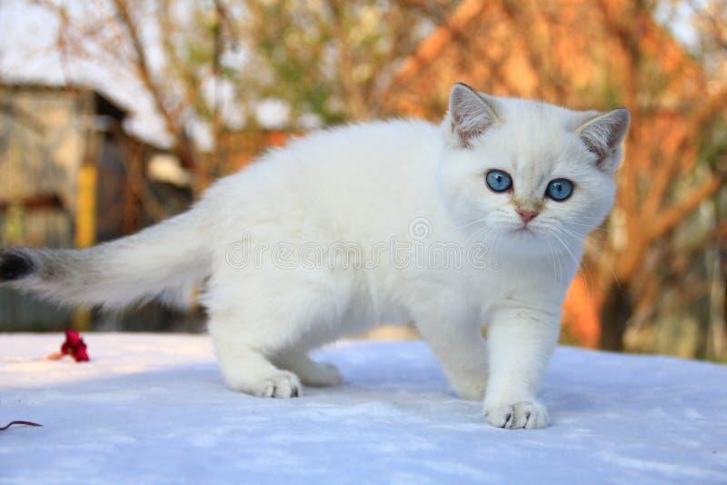 British Shorthair kitten. Rare colour, colours royalty free stock image