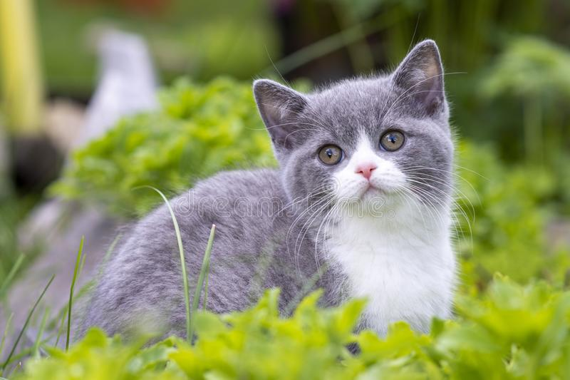 British Shorthair kitten sitting in the grass and looking at the camera. The concept of walks in the fresh air stock photo