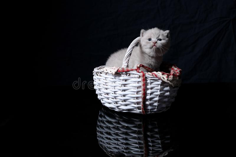 British Shorthair lilac kitten in a basket, black background. British Shorthair kitten sitting in a white wooden basket, reflection on background royalty free stock photos