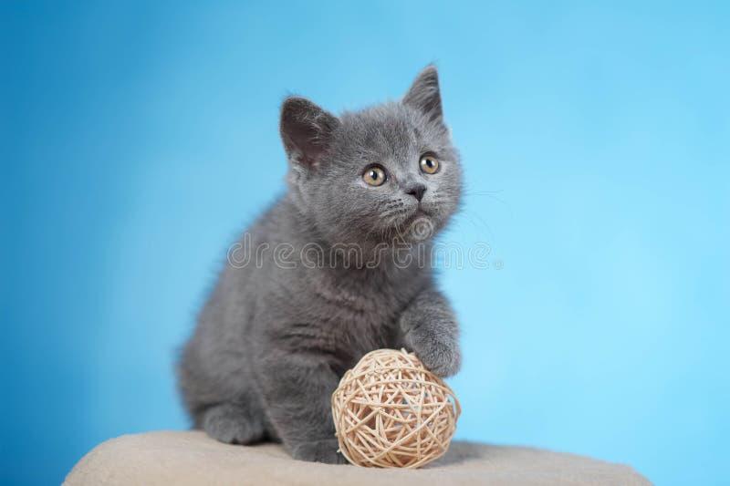 British shorthair kitten. Sweet Blue british shorthair kitten stock image