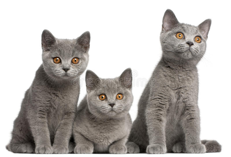 British Shorthair kittens, 3 months old, sitting royalty free stock photo
