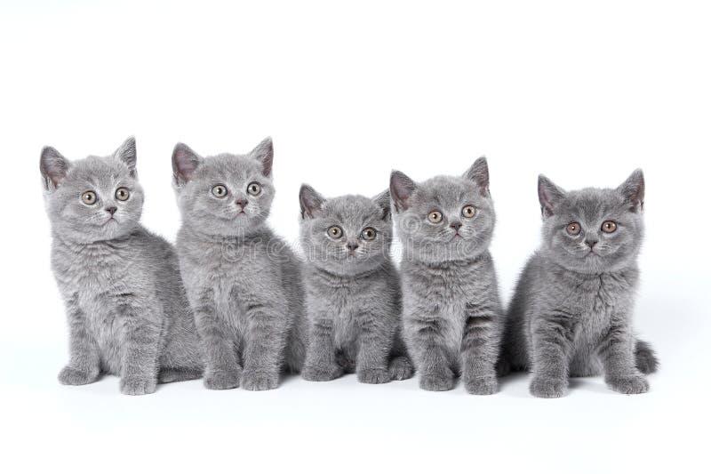 British Shorthair kittens royalty free stock photography