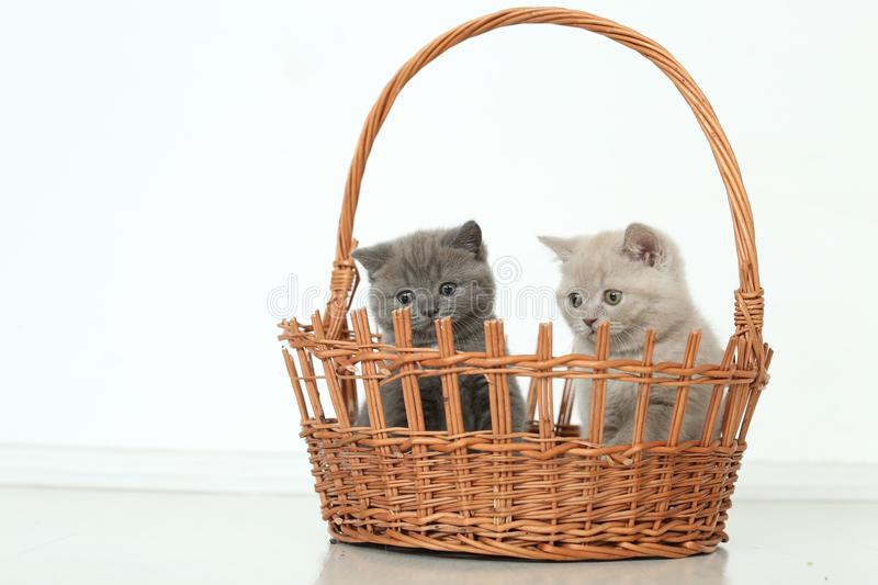 British Shorthair kittens in basket, isolated portrait stock image